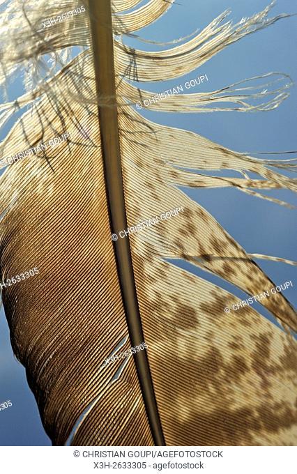 Common buzzard (Buteo buteo) feather