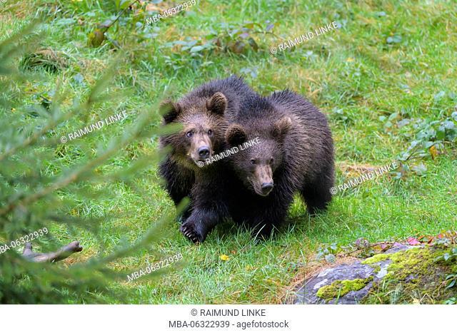 Brown Bear, Ursus arctos, Two cubs, Bavaria, Germany