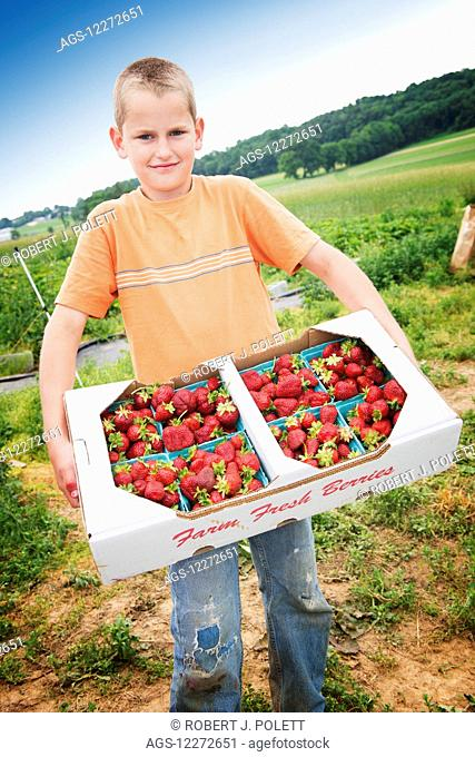 Young man helps on the family strawberry farm moving a flat of strawberries ready to ship; Strasburg, Pennsylvania, United States of America