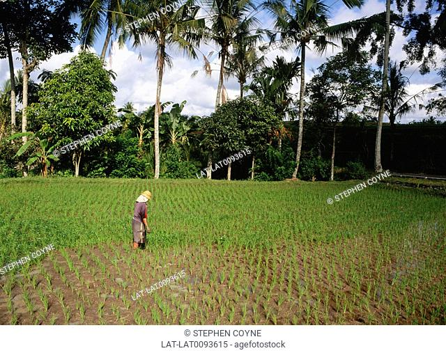 Ubud is a town in central Bali,in an area of very rich fertile volcanic laval soil. The fields are full of the rice crop