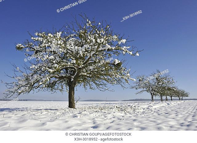apple trees covered with snow, department of Eure-et-Loir, Centre-Val-de-Loire region, France, Europe
