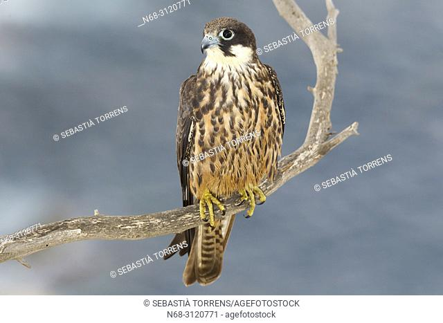 Eleonora's Falcon (Falco eleonorae) on a branch. , Majorca, Balearic Islands, Spain