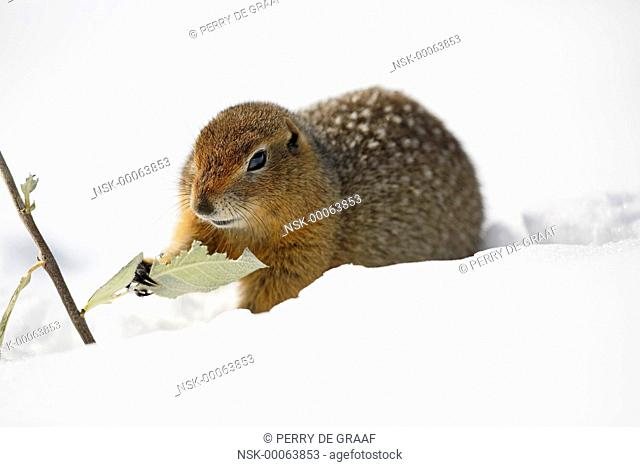 Arctic Ground Squirrel (Spermophilus parryii) sitting in the snow, eating vegetation, United States, Alaska, Denali National Park and Preserve