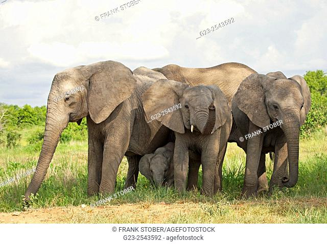 Elephant group, Africa