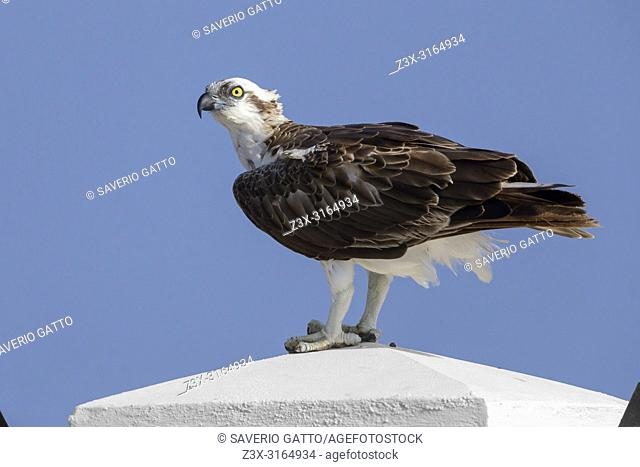 Osprey (Pandion haliaetus), Standing on a post, Qurayyat, Muscat Governorate, Oman