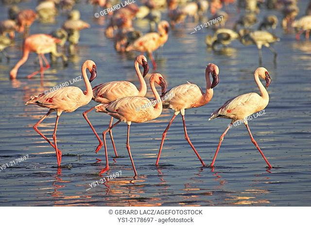 LESSER FLAMINGO phoenicopterus minor AT NAKURU LAKE IN KENYA