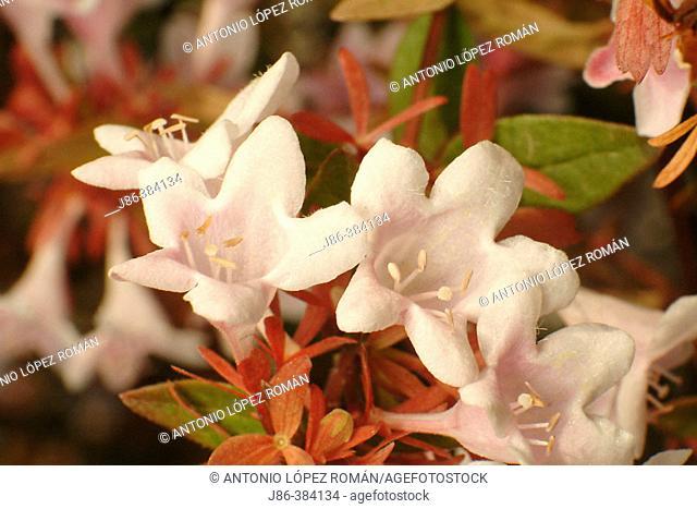 Glossy Abelia (Abelia grandiflora)