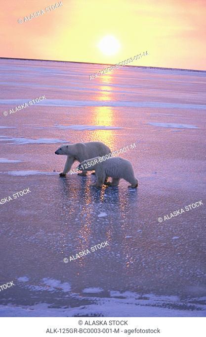 Two Polar Bears Walking Churchill Manitoba Canada Sunset Beach