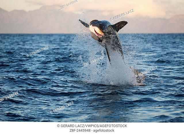 Great White Shark, carcharodon carcharias, Adult Breaching, False Bay in South Africa