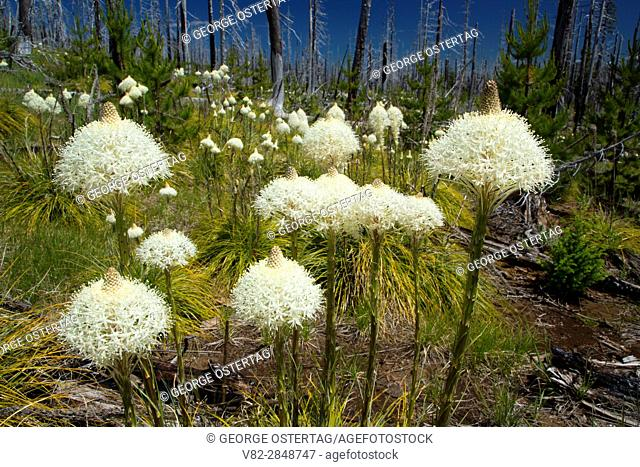 Beargrass in B&B fire zone along Pacific Crest Trail, Willamette National Forest, Oregon