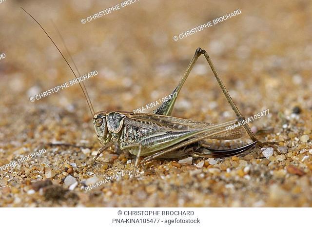 Tuberous Bush-cricket Platycleis affinis - Olonne-sur-Mer, Vendee, Pays de la Loire, France, Europe