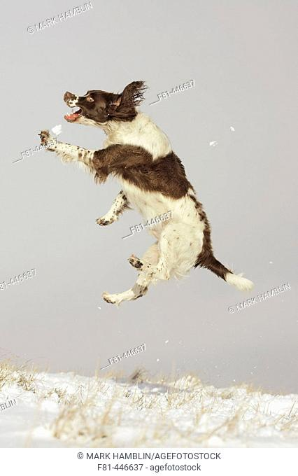 Springer spaniel dog jumping high into the air to catch snow. Scotland. Winter