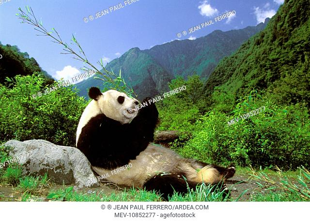GIANT PANDA - lying on back, eating bamboo (Ailuropoda Melanoleuca). Wolong Reserve, Sichuan, China. sub-tropical
