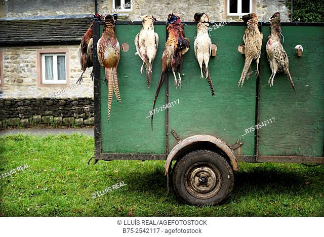 Trailer with Pheasants in the village green of Arncliffe after a hunt. Yorkshire Dales, UK England, Europe