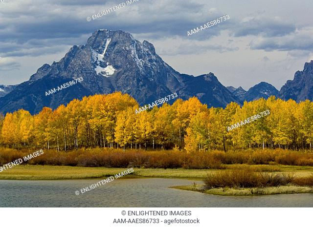 Golden Aspen trees in autumn below Mount Moran, at Oxbow Bend, Grand Teton National Park, Wyoming