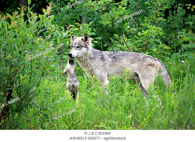 Gray Wolf, (Canis lupus), adult with young social behaviour, Pine County, Minnesota, USA, North America
