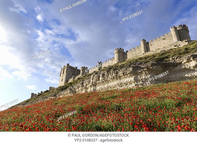 Peñafiel, Spain: Wildflower super bloom surrounds Peñafiel Castle. Fields of poppies sprouted in the region after a wet spring ended months of dry weather