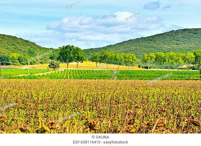 Wilted Sunflower Fields and Green Vineyards