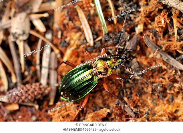France, Territoire de Belfort, Ballon d Alsace (850 m), forest, Carabe with copper highlights (Chrysocarabus auronitens) under bark, tree mortality