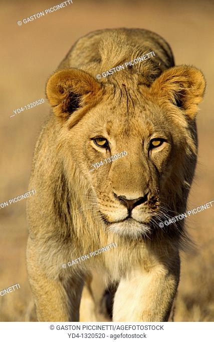African Lion Panthera leo - Young Males, Kgalagadi Transfrontier Park, Kalahari desert, South Africa