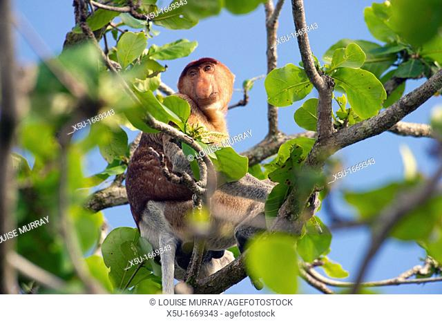 Male proboscis monkey, Narsalis larvatus is only found on Borneo  Proboscis monkeys are listed as endangered by the IUCN Red List