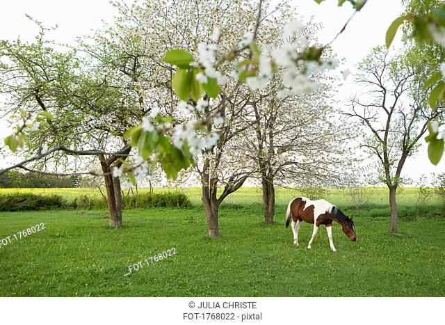 Brown and white horse grazing in idyllic, spring field