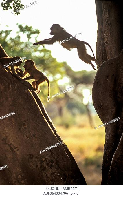 young baboon jumping from tree