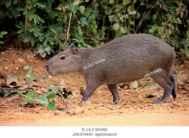 Capybara, (Hydrochoerus hydrochaeris), young on shore, Pantanal, Mato Grosso, Brazil, South America