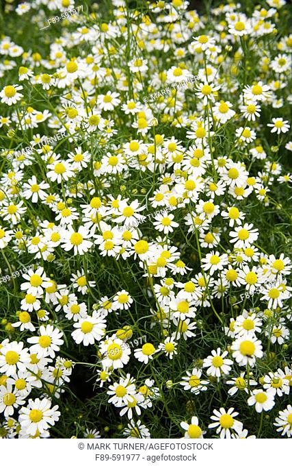 German Chamomile (Matricaria recutita). Tennant Lake. Fragrance Garden , Ferndale, Washington. USA