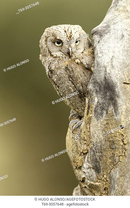Eurasian scops owl. Otus scops. Madrid. Spain