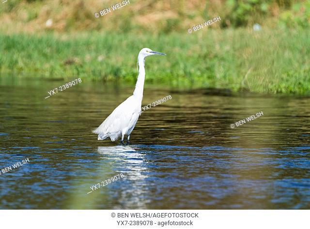 Egret. Malaga, Costa del Sol, Andalusia, Spain