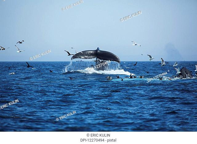 Humpback whales (Megaptera novaeangliae) at the surface of the water and a flock of birds; Massachusetts, United States of America