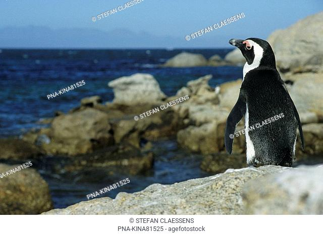 African Penguin, Jackass penguin Spheniscus demersus - Cape of Good Hope Nature Reserve, Cape Peninsula, Western Cape Province, South Africa, Africa