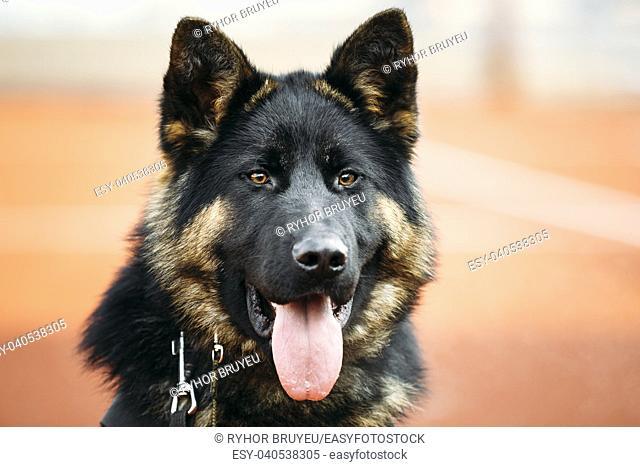 Close Up Young Puppy Black German Shepherd Dog, Alsatian Wolf Dog