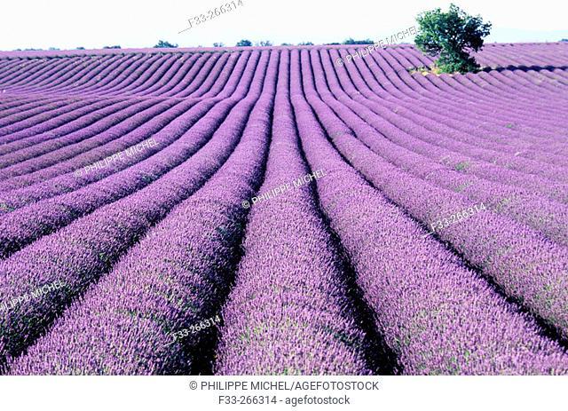 Lavender fields. Plateau de Valensole. Alpes de Haute Provence. Provence. France