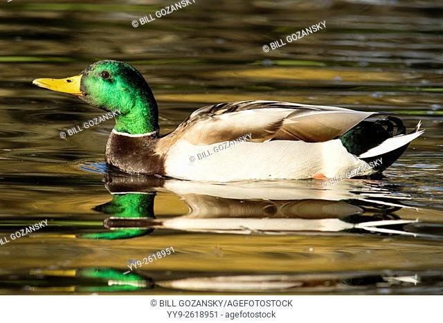 Mallard Duck (male) - Beacon Hill Park, Victoria, Vancouver Island, British Columbia, Canada
