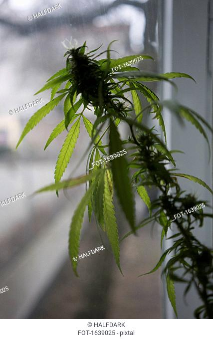 Close-up of marijuana plant by a window