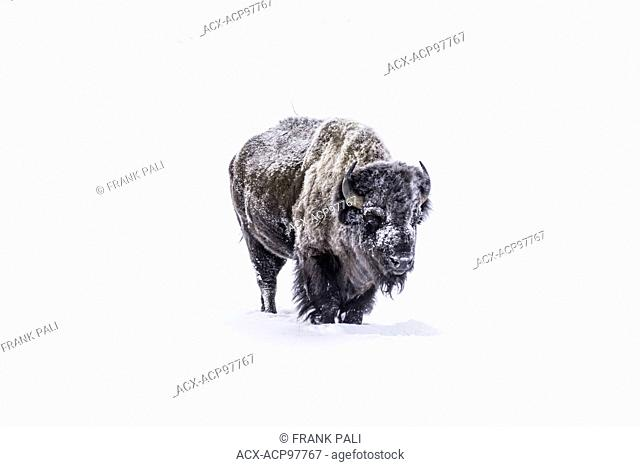 The American bison (Bison bison), Wildlife of Yellowstone Park at Lamar Valley Mammoth Falls , Wyoming USA on December 26, 2015