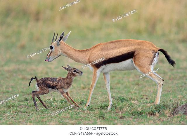 Thomson's Gazelle (Eudorcas thomsonii) and her standing newborn, Mara Triangle, Maasai Mara National Reserve, Narok, Kenya, Africa