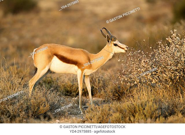 Springbok (Antidorcas marsupialis), eating, Mabuasehube, Kgalagadi Transfrontier Park, Kalahari desert, Botswana