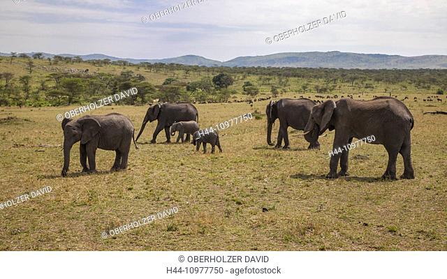Africa, elephant, loxodonta africana, african elefant, gnu, wildebeest, young, animals, scenery, landscape, travel, savanna, Serengeti, mammals, Tanzania