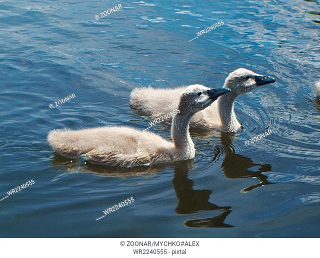 White Swan Cygnets