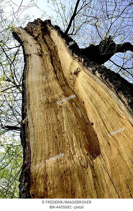 Tree trunk with storm damage, split tree, North Rhine-Westphalia, Germany