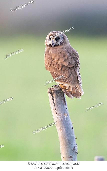 Marsh Owl (Asio capensis tingitanus), adult perched on a post in Morocco