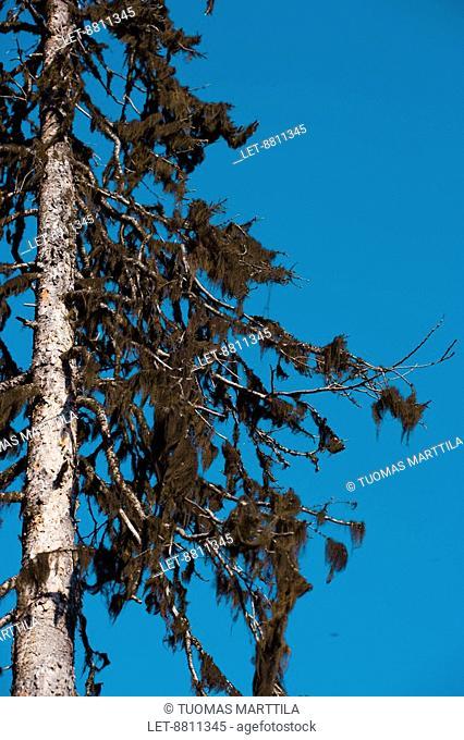 Beard moss Usnea in trees in Lapland, Finland