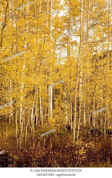 Aspen trees, Aspen, Colorado, USA