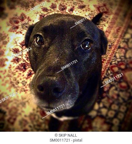 A black labrador looking at the camera