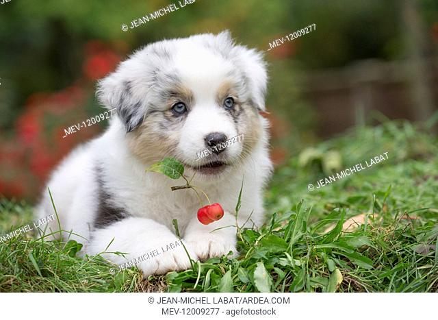 Australian Shepherd Dog puppy outdoors Australian Shepherd Dog puppy outdoors
