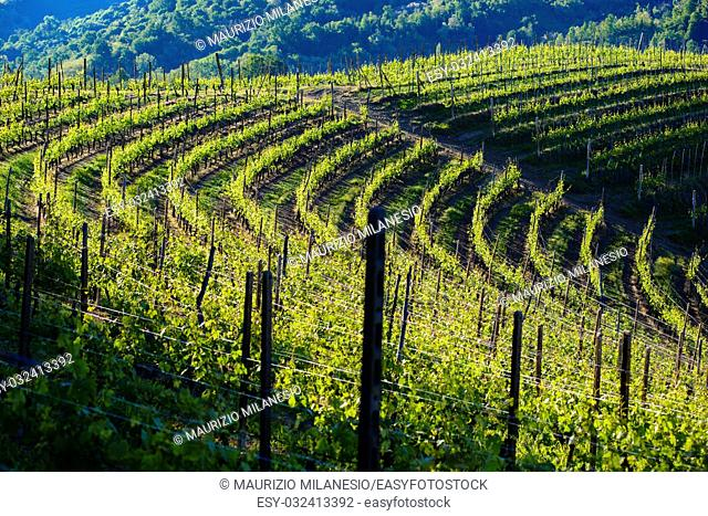 View of vineyards and woods in the morning light