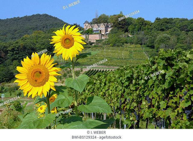 common sunflower (Helianthus annuus), sunflowers in front of Kropsburg near St. Martin, Germany, Rhineland-Palatinate, German Wine Route